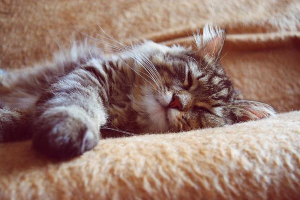 sleeping-cat-2754329_1920